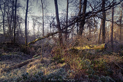 Winter Woodland Chaos (.Brian Kerr Photography.) Tags: scotland scottishlandscapes scotspirit scottishlandscape visitscotland visitbritain dumfriesandgalloway lochmaben castleloch winter weather frozen formatthitech firecrest zeiss21mm zeiss carlzeiss milvus vanguarduk availablelight nikon d850 wood woodland trees coldmorning frosty briankerrphotography dgwgo
