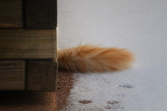 Follow the paw prints until you see the orange tail .... (FocusPocus Photography) Tags: tofu dragon katze kater cat chat gato tier animal haustier pet schnee snow winter schwanz tail orange