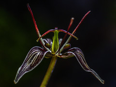 Whole Adder's Tongue (james.fowler15) Tags: adders tongue scoliopusbigelovii scoliopus lily flower purple green