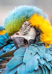 Blue and Yellow Macaw (Ara ararauna) (celia.mulhearn) Tags: macaw parrot sigma100400mmf563dgoshsm cotswoldwildlifepark