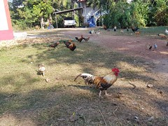 Chickens at Wat Kut Lat 1 (SierraSunrise) Tags: animals birds chickens esarn fowl isaan nongkhai phonphisai thailand