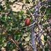 Red-billed firefinch or Senegal firefinch (Lagonosticta senegala), Hwange National Park, Zimbabwe