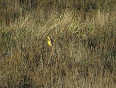Singing Western Meadowlark (stonebird) Tags: westernmeadowlark sturnellaneglecta ballonawetlandsecologicalreserve areab february img8013