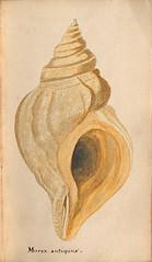 n186_w1150 (BioDivLibrary) Tags: greatbritain mollusks museumsvictoria bhl:page=57640395 dc:identifier=httpsbiodiversitylibraryorgpage57640395 conchologicaldictionary conchology shells britishisles britishislands williamturton british