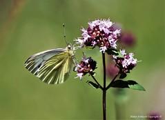 Piéride du navet (Pieris napi) (25) (Didier Schürch) Tags: fleur herbe animal papillon piéride pieris