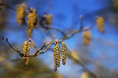 filbert near spring (Schagie) Tags: hazrelaar filbert tree boom vrucht winter lente spring blue sky blauw lucht natuur nature roovertsche lei bos mooi hangers hanging beauty