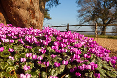 Nymans 02.19 (Cyclamen) (Adam Swaine) Tags: cyclamen flowers flora nymans nymanssussex naturelovers nature nationaltrust sussexgardens sussex westsussex england english macro canon counties countryside sussexweald beautiful pinkgreen petals britain british walks gardens
