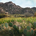 Prickly pear and Fiddlenecks