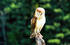 Owl Portrait (4thmedium) Tags: barn owl canadianraptorconservancy