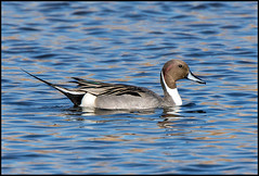 Pintail (Ed Sivon) Tags: america canon nature lasvegas wildlife wild western water southwest desert duck clarkcounty vegas flickr bird henderson nevada
