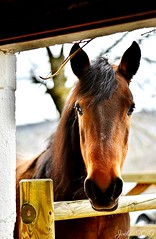 ~~ Élisa au nez en forme de coeur ~~ (Joélisa) Tags: mars2019 elisa jument cheval horse porte