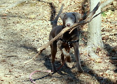 our new branch manager (Judecat (ready for springtime)) Tags: dogwithstick fetch dog canine puppy silverlabradorretriever labradorretriever pearl