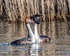 Prancing Great crested Grebe males (Podiceps cristatus)-5171 (George Vittman) Tags: bird duck grebe water male mating nikonpassion wildlifephotography jav61photography jav61
