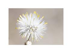 Senecio Vulgaris, comúnmente llamada Hierba Cana. (EFD-fotolab) Tags: macrofotografia macro naturaleza petalos efdfotolab nikkor105mm nikond610 nikon españa primavera2019 flores flowers floressilvestres blanco hierbacana seneciovulgaris