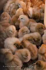 032819 New Yellow Peeps (wildcatlou) Tags: spring march nature 52frames challenge new chicks babies peeps