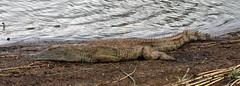 Crocodile. Crocodilo. Kruger Park. South Africa. Jan/2019 (EKatBoec) Tags: hingback tortoise rock monitor crocodile rainbow skink marsh terrapin leopard flapnecked chameleon blueheaded tree agama