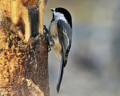 Black-capped (Jan Nagalski) Tags: bird chickadee blackcappedchickadee nature wildlife tree treetrunk bark lakestclair metropark spring jannagalski jannagal