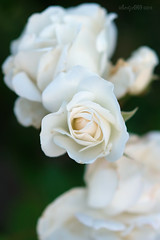 A rose by any other name... (astrogirl969) Tags: fujifilm xpro2 fujifilmxf50mmf2rwr flora flower flowers white shallowdof rose nature plant closeup pselements 10faves 1000views