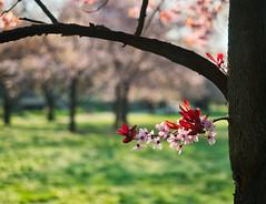im Schein der Sonne (lebastian) Tags: panasonic dmcgx8 olympus m1240mm f28 baum tree frühling spring blüten blossom