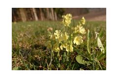 Die ersten Schlüsselblumen (balu51) Tags: morgenspaziergang wiese schlüsselblumen gelb grün frühling spring flower bloom yellow green meadow morning morningwalk märz 2019 copyrightbybalu51
