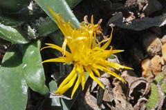 Bergeranthus scapiger (Haw.) N.E. Br. - BG Meise