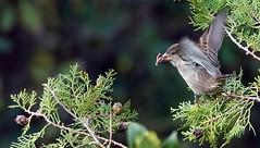 Sparrow on taking off (Jambo Jambo) Tags: passero sparrow uccello bird cacciafotografica birdwatching grosseto maremma maremmatoscana toscana tuscany italia italy sonydscrx10m4 jambojambo