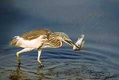IMG-20171219-WA0221 (TARIQ HAMEED SULEMANI) Tags: sulemani tariq tourism trekking tariqhameedsulemani winter wildlife wild birds nature nikon