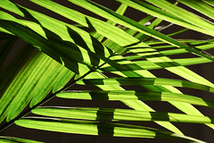 Areca Palm Naturally Entwined (Modkuse) Tags: velvia fujifilmxt2velvia fujifilmxt2velviasimulation plant nature natural palm areca arecapalm fujifilm fujifilmxt2 xt2 xf35mmf2rwr fujinon fujinonxf35mmf2rwr art artphotography photoart fineartphotography fineart nopostprocessing leaves