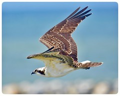 Young Osprey from Lewes/Cape May Ferry Terminal, Delaware (Natureholic001) Tags: lewescapemayferry lewes bird fisher youngraptor birdsofnorthamerica delaware natureholic osprey