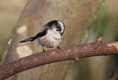 Long-tailed Tit (themadbirdlady) Tags: longtailedtit vanefarmrspb aegithaloscaudatus aegithalidae passeriformes