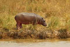 Hippo (light_into_the_dark) Tags: pendjari national park benin west africa wildlife safari hippo nilpferd