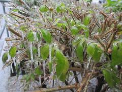 Ledovka, prosinec 2014 (pocasimeteoaktuality) Tags: ledovka praha prosinec 2014 keře obalené listy větve extrémní počasí
