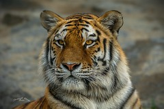 Sumatran Tiger (THW-Berlin) Tags: tiger animals tiere sumatra sumatran wildlife zoo tierpark parks sony alpha77ii sigma 50500mm
