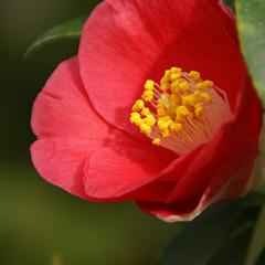 Kamelie / Japanese camellia (Camellia japonica) (HEN-Magonza) Tags: botanischergartenmainz mainzbotanicalgardens rheinlandpfalz rhinelandpalatinate deutschland germany kamelie japanesecamellia camelliajaponica