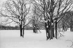 Isla Glischa (schoeband) Tags: rollei35 film 35mm bw ilforddelta100 engadin grischun grisons graubünden svizra suisse svizzera schweiz switzerland samedan trees winter snow islaglischa