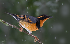Varied Thrush I (dennis_plank_nature_photography) Tags: avianphotography thurstoncounty variedthrush birdphotography naturephotography snow wa avian birds blind copse home littlerock nature