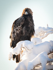 In Your Eyes (MrBlackSun) Tags: kuusamonaturephotography kuusamo hideout birds bird birdlover birdlovers eagle goldeneagle eaglehides nikond850 nikon winter forest finland lapland