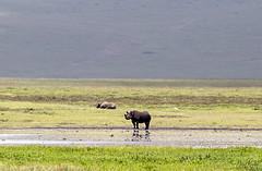 BLACK RHINOCEROS 1 (Nigel Bewley) Tags: blackrhinocerus rhino dicerosbicornis tanzania africa wildlife nature wildlifephotography nigelbewley photologo appicoftheweek lakemagadi ngorongoroconservationarea march march2019 safari gamedrive