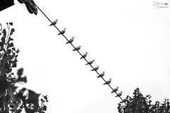 Möwen auf einem Seil (ucrainis) Tags: black white monochrome bw birds animals cable rope gulls nature dnipro ukraine abstract