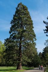 Riesenmammutbaum (KaAuenwasser) Tags: sequoiadendrongiganteum riesenmammutbaum baum pflanze park garten schlossgarten weg platz ort stelle strase menschen jogger joggen karlsruhe natur