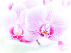 light colours (Meinersmann, Thomas) Tags: april2019 blüten makro omdem5ii olympus thomasmeinersmann macrounlimited lightcolours experimentell