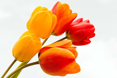 Tulips (Jez22) Tags: floral spring flora beautiful tulips fresh blooms bunch flowers romantic yellow color colorful easter bright flowering nature red copyright jeremysage kent england