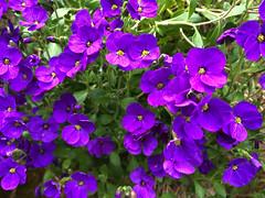 Small matters (Rosmarie Voegtli) Tags: flowers spring odc ourdailychallenge morningwalk detailsoflife iphone dornach inexplore