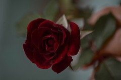 A Rose In The Hand (ACEZandEIGHTZ) Tags: rose red flower bokeh nikon d3200 macro closeup floral petals scented fragrant