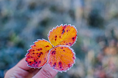 Frost on strawberry leaves.Late autumn (ivan_volchek) Tags: autumn background beautiful beauty bloom blossom botany bright closeup color colorful flora floral flower foliage frost frozen garden grass green leaf leaves macro natural nature orange outdoor pattern petal pink plant red season strawberry texture white yellow