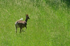 2018 05 21 520 Carr farm, WV (Mark Baker.) Tags: 2018 america baker braxton county mark may north us usa virginia wv west day deer outdoor photo photograph picsmark rural spring states united whitetailed wildlife