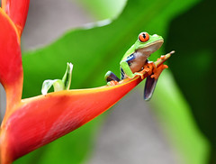 DSC_7704 PS (Christopher Lane Photography) Tags: costa rica vacation central america beauty beautiful tropical exotic beach la paz waterfall gardens redeyed tree frog colorful leaf amazing