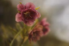 Sommerblüten (FODA_82) Tags: blume blumenmeer flower flowers pflanzen unscharf bokeh botanical natur natureshots naturlovers naturfotografie beautiful beautifulflower nice niceflower
