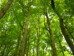 Buchenwald (Jörg Paul Kaspari) Tags: buche fagussylvatica wald buchenwald grün grüner green forest buchen
