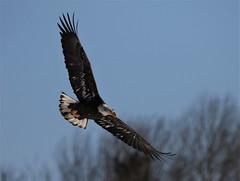Bald Eagle (kearneyjoe) Tags: baldeaglesheffieldmills novascotia
